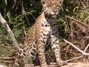 Le pays du jaguar – TF1 – 7à8